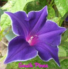 Kikyo Blue Picotee Japanese Morning Glory Seeds - ipomoea Nil - singles & double
