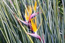 100 Seeds - Leafless Bird of Paradise - Strelitzia juncea