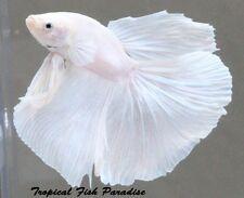 LAST Platinum White Imported Halfmoon HM betta fish PAIR****MALE/FEMALE*****