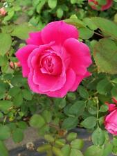 Hi, Neighbor Hot Pink Rose 1 Gal Live Bush Plants Grandiflora Plant Fine Roses