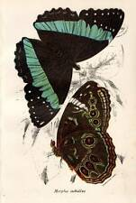 Original Antique BUTTERFLY Print 1896 KIRBY Color Chromolithograph 'Morpho Achil