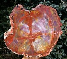 "SiS: SPELLBINDING 10""+ Arizona RAINBOW Petrified Wood Conifer Round!"