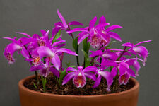 Pleione Tongariro, Blooming Size Orchid, Hybrid