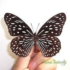 50 collection unmounted butterfly Tirumala septentrionis CHINA GUANGXI A1  A1-