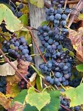 Purple concord grape vine hardy perennial, 12 plants