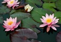 POND STARTER PACK OF 60 PLANTS ALONG WITH 2 WATER LILIES