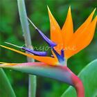 10pcs strelitzia reginae fiore semi tropicale uccello del paradiso mallowwort