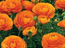 Ranunculus-Mache Orange (10 PEL Seeds) Persian Buttercups,Great for containers.