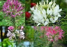 100+ Samen Cleome hassleriana - Spinnenblume Pink, weiß, violett