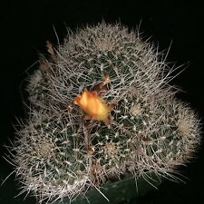 Sulcorebutia menesessii, cactus plant