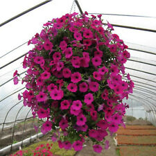 New 1 Pack 50 Seeds Trailing Petunia Hybrida Flower Seed Beautiful Pink LSCA DD