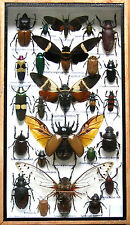 Real Mounted Insect Boxed Rare Insects Display Taxidermy Entomology Zoology