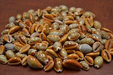 250 PCS REDDISH BROWN HEMPHREY COWRIE SEA SHELL BEACH DECOR 1 POUND #7973