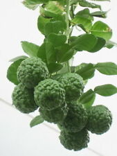 New KAFFIR LIME SEEDS  Fragrant & Organic Source of Lime 10 Seeds From Thailand