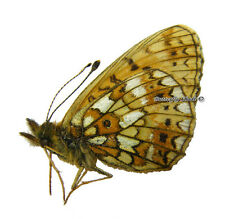 Unmounted Butterfly/Nymphalidae - Boloria selene selene, male, Russia
