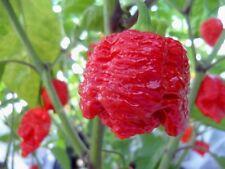 PEPERONCINO 7 POD BRAIN STRAIN RED - 10 SEMI A PREZZO SPECIALE