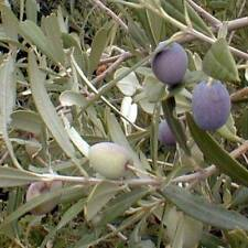Arbequina Olive Tree Plant Cold Hardy Fruit 1-2 Feet