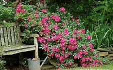Rose,Red Robin Hood Everblooming rose hedge..1- cutting ready for you to Root