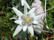 50 EDELWEISS Leontopodium Alpinum Flower Seeds + Gift & Comb S/H