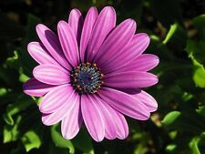 25 PURPLE AFRICAN CAPE DAISY Dimorphotheca Flower Seeds + Gift & Comb S/H
