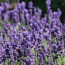 120 x Extra Strong English Lavender Plants for sale. Includes Free Delivery!