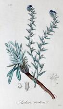 Anchusa Tinctoria Dyer's Bugloss Ochsenzunge Blutwurz Heilpflanze Brechmittel