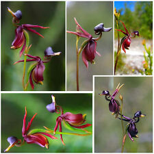 100pcs Flying Duck Orchid Flower Seeds China Rare Beautiful Orchids Garden Seeds