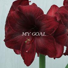 2Pcs Royal Velvet Amaryllis Bulbs Bonsai Plant Garden Hippeastrum Flower Seeds