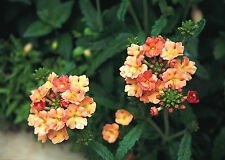 Verbena Peaches & Cream 15 Seeds Half -Hardy Annual