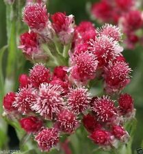 """100 Antennaria dioica """"Red Wonder"""" Red Pussy-toes, Cats Paws,ground cover"""