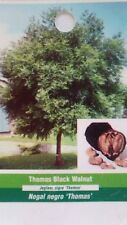 Thomas Black Walnut Tree Live Home Landscape Plants Garden Nut Wood Shade Trees