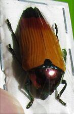 Rare Amazing Wood Boring Jewel Beetle Metaxymorpha apicalis FAST SHIP FROM USA