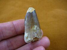 """(DF233-52) 1-3/4"""" Fossil REAL SPINOSAURUS DINOSAUR tooth Jurassic dino fossil"""