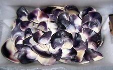 2+ Pounds of Surf Tumbled Quahog/Wampum Shell Pieces