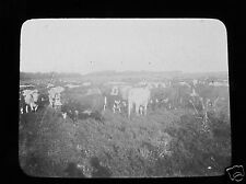 Glass Magic lantern slide BEEF HERD C1910 ARGENTINA CATTLE COWS