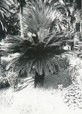 ÎLE DE CORFOU c. 1935 - Achilléion Les Jardins  Cycas  Grèce - Div 8223