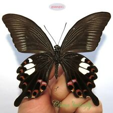 unmounted butterfly Papilionidae Papilio helenus GUANGXI  A1