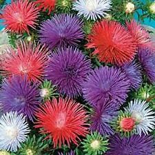 Aster- (Callistephus Chinensis) Sea Star - 50 seeds