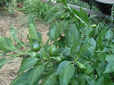 South African sweet piquante pepper seed (35 seeds)