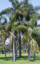 Syagrus romanzoffiana - QUEEN PALM - 10 x Fresh Seeds - Tropical Palm Tree