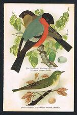 Chromo-Lithographie 1902, Dompfaff Waldlaubvogel, Vogelkunde Ornithologie /113