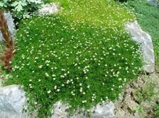 Moss Irish Seeds Sagina Subulata 50 seeds S0865