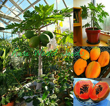 Carica Papaya 'TR HOVEY' In or Outdoor! MINI dwarf tree SEEDS Self-pollinating!