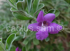 50 Seeds Green Leucophyllum frutescens Texas Ranger Sage Cenizo Leaf Cloud