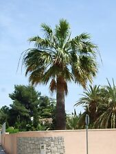 Washingtonia Filifera Semillas x 50