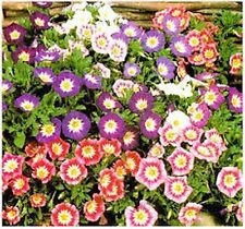Morning Glory  (Convolvulus Tricolor Minor Ensign)- Ensign Mix- 50 seeds