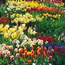 100 X MIXED BULBS TULIPS NARCISSUS CROCUS BLUEBELLS SPRING FLOWERING PLANTS