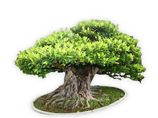 Ficus Benghalensis Tree 100+ Seeds, Banyan, Bengal Fig, East Indian Fig Bonsai,B