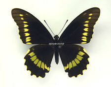 Unmounted Butterfly/Papilionidae - Battus polydamas polydamas, FEMALE, Argentina