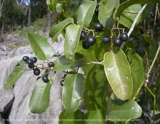 NATIVE AUSTRALIAN GRAPE,15 Seeds,Cissus hypoglauca,Vine,Bush Tucker,Fruit tree